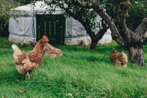 giftiga ekoägg - mata hönsen med insekstmjöl?